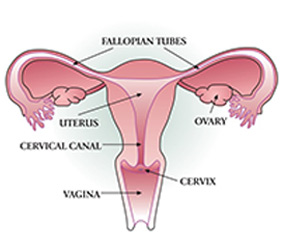 Diagram showing the uterus and the cervix